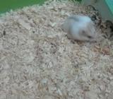 Pareja hamster chino con jaula
