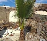Palmera Trachicarpus