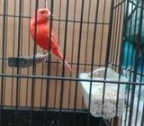 Canario rojo intenso macho