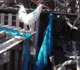 Gallo adulto de papá trifino