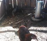Pollos adultos colloncos y brama