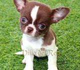 Busco Chihuahua
