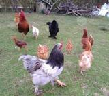 Brahama, gallo y gallinas