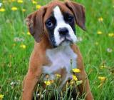 Busco cachorro Bóxer