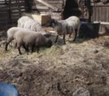 2 ovejas Parías