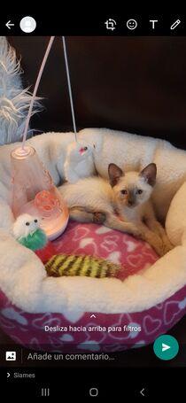 Hermoso gatito siamés bebé (2 mese)